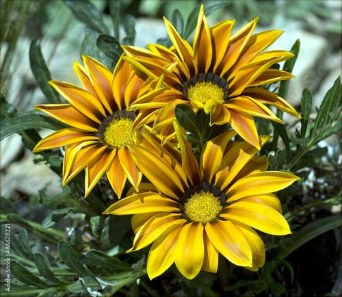 Foto  Gazania;  Gazanien, Hybride;  Splendens;