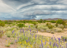Chisos Mountains,  Bluebells, Paper Flowers, Big Bend National Park, TX