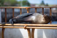 Sleeping Sea Lion On A Bench, ...