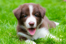 Happy Red Border Collie Puppy