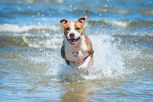 Happy American Staffordshire Terrier Dog Running In The Water