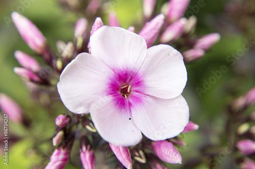 Weiß/Lila Blüte
