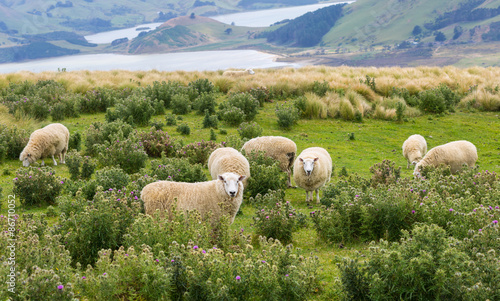 Flocks of sheep graze in the fields with spectacular ocean views