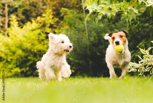 Two dogs playing with a ball.