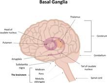 The Basal Ganglia Illustration