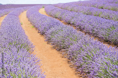 Tuinposter Lavendel Purple lavender field on Tasmania Australia