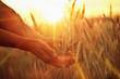 canvas print picture - Solar wheat