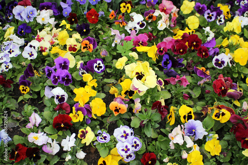 Deurstickers Pansies Multicolored pansies.