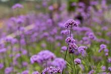 Purple Verbena In Soft Fogus