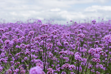 Purple Verbena Field  In Soft ...