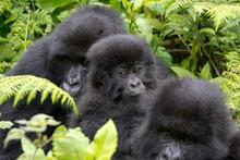 Three Gorillas Resting In The ...