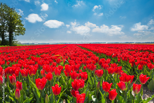 Beautiful red tulips during sunny day, Netherlands
