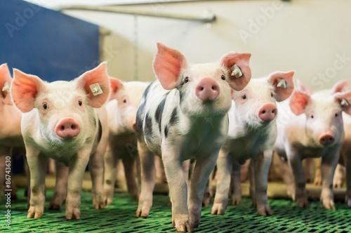 Obraz na płótnie Ciekawie wyglądające prosięta w nowoczesnej stodole hodowlanej