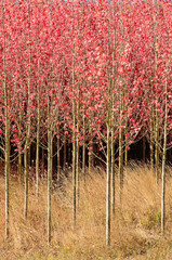 Panel Szklany Drzewa Group of oramental dogwood trees on a nursery.