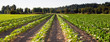 canvas print picture - Planted Rows Herb Farm Agricultural Field Plant Crop