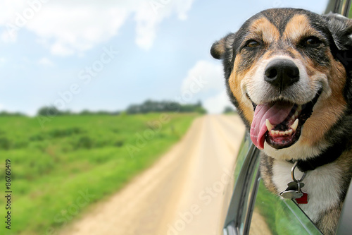 Fotobehang Hond German Shepherd Dog Sticking Head Out Driving Car Window