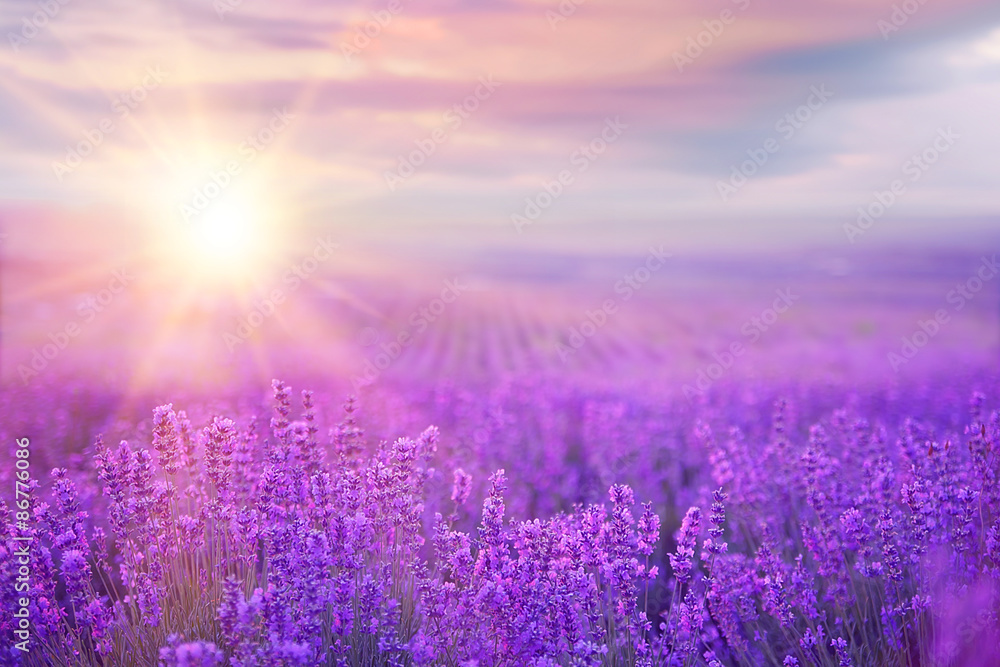 Fototapety, obrazy: Sunset over a lavender field.