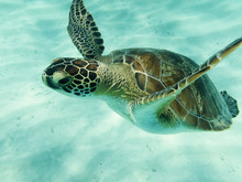 Close Up Detail Looking Into The Eyes Of A Green Sea Turtle (Chelonia Mydas) Swimming In Sunlit Caribbean Seas At Tobago Cays.