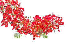 Red Flower Bush Isolated.