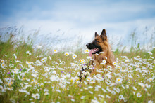 German Shepherd Dog Portrait Outdoors