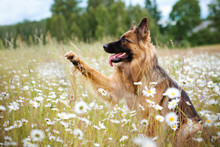 German Shepherd Dog With A Paw In The Air