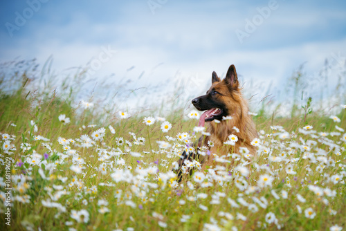 Fotografie, Obraz german shepherd dog portrait outdoors
