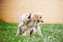Two Afghan Hound Puppies Playing Together