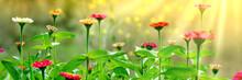 Blooming Zinnas