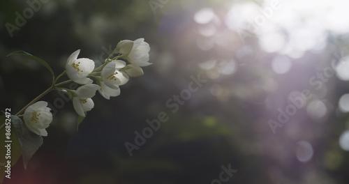 Photo  jasmine flowers in bloom outdoor photo