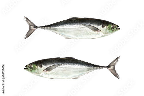 torpedo scad (Finny scad, Finletted mackerel scad)  isolated on Fototapeta