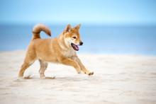 Happy Red Shiba Inu Puppy Runn...