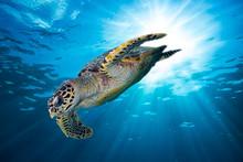 Hawksbill Sea Turtle Dives Dow...