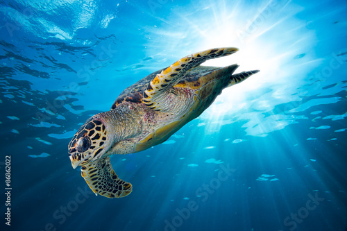 In de dag Schildpad hawksbill sea turtle dives down into the deep blue ocean