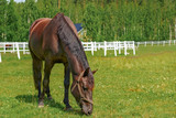 Piękny koń na polanie