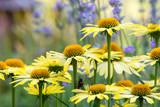 Fototapeta Kwiaty - Piękne żółte kwiaty