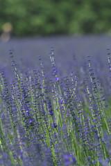 Panel Szklany Podświetlane Lawenda 北海道の花畑