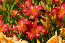 Hemerocallis - Beautiful Red Daylily Flowers Blossom In The Garden