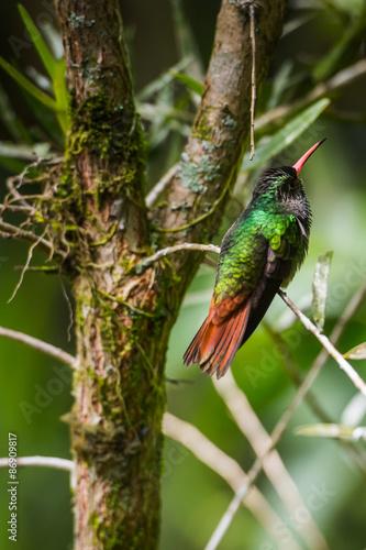 Poster Chamaleon Little colibri in Ecuador