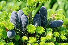 Blue Cones Of Bonsai Fir