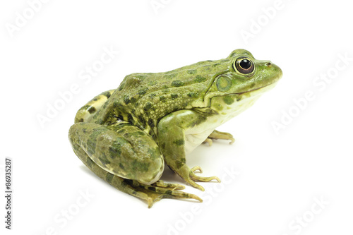 Foto op Plexiglas Kikker large green marsh frog on a white background