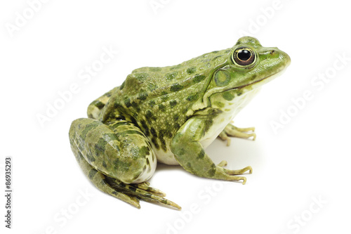 Foto op Plexiglas Kikker large bright green frog on a white background