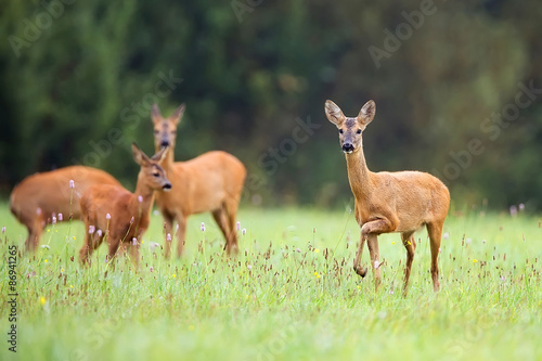 Montage in der Fensternische Reh Roe-deer with family in the wild