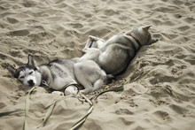 Sweet Dream Two Dogs In The Ho...