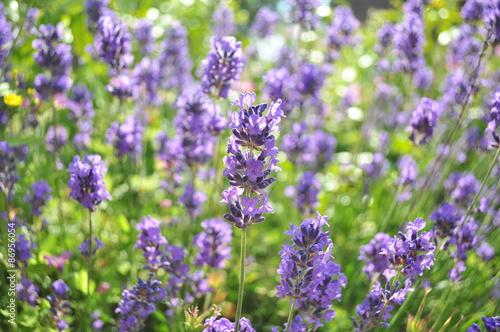 Fototapety, obrazy: Lavendelstrauch