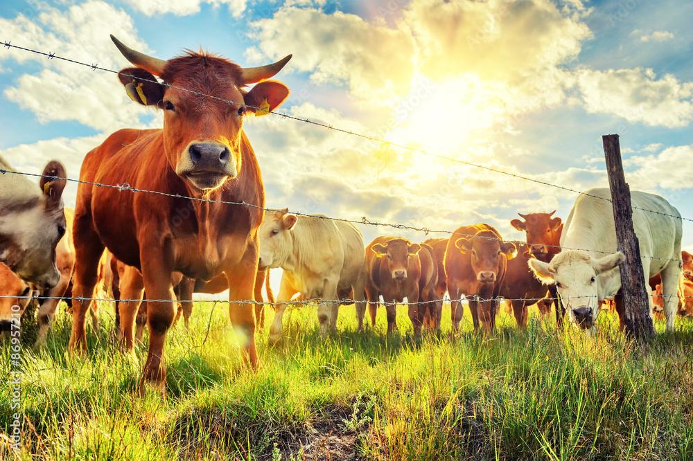 Fototapeta Herd of young calves looking at camera