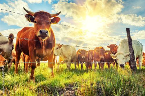 Cuadros en Lienzo Herd of young calves looking at camera