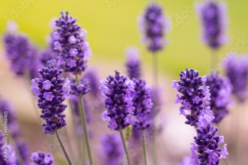 Fototapety, obrazy: Lavender blossoms