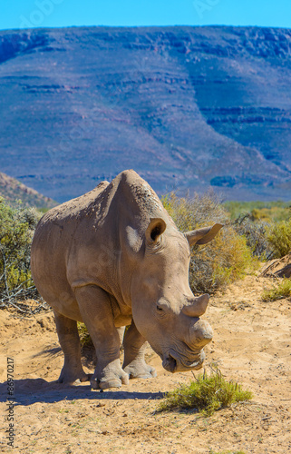 Foto op Plexiglas Zuid Afrika White rhinoceros in South Africa