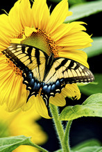 Eastern Tiger Swallowtail Butterfly Feeds On A Sunflower Bloom.
