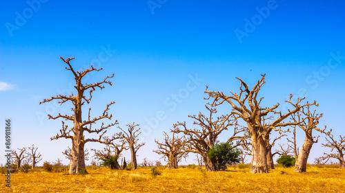 Baobab tree in Senegal, Africa